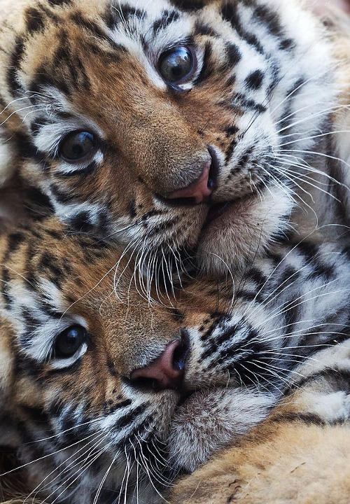 Two young tigers are pictured on November 20, 2011 at the zoo in Magdeburg, eastern Germany. The two female tiger babies were born at the zoo on September 26, 2011, and were presented to visitors for the first time. AFP PHOTO / JENS WOLF GERMANY OUT (Photo credit should read JENS WOLF/AFP/Getty Images)
